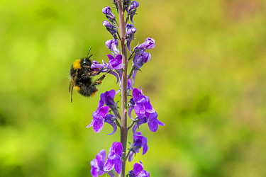 Early bumblebee (Bombus partorum), on Purple toadflax (Linaria purpurea), Monmouthshire, Wales, UK. June.