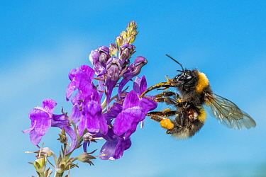 Garden bumblebee (Bombus hortorum), on Purple toadflax (Linaria purpurea), Monmouthshire, Wales, UK. June.