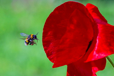 Buff tailed bumblebee (Bombus terrestris) queen flying to Oriental poppy flower (Papaver orientale) with pollen baskets, Monmouthshire, Wales, UK. July.