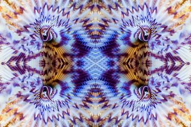 Kaleidoscopic image of Fan worm (Sabella sp.), Puerta Galera, Philippines.