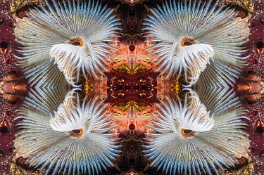 Kaleidoscopic image of Indian fan worm (Sabellastarte indica), Mabul, Malaysia.