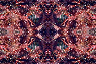 Kaleidoscopic image of Hingebeak shrimp (Rhynchocinetes durbanensis). Bali, Indonesia.