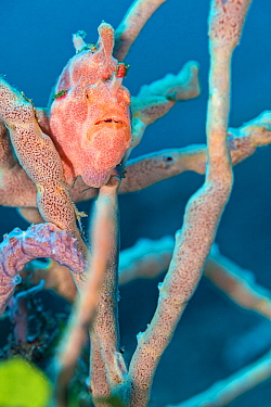 Painted frogfish (Antennarius pictus) hides amongst rope sponges on a coral reef. Bitung, North Sulawesi, Indonesia. Lembeh Strait, Molucca Sea.
