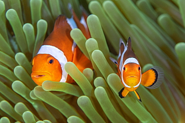 Western clown anemonefish (Amphiprion ocellaris) poses with a large, dominant female behind. The clownfish in the foreground is probably a juvenile. Bitung, North Sulawesi, Indonesia. Lembeh Strait, M...