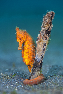 Common seahorse (Hippocampus kuda) female gripping onto a piece of waterlogged wood with her prehensile tail. Bitung, North Sulawesi, Indonesia. Lembeh Strait, Molucca Sea.