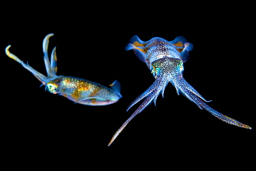 Bigfin reef squid (Sepioteuthis lessoniana) at night. Bitung, North Sulawesi, Indonesia. Lembeh Strait, Molucca Sea.