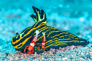 Pair of Emperor shrimp (Zenopontonia rex / Periclimenes imperator) female is the larger one, hitch a ride on a large nudibranch (Tambja luteolineata) and pick food from the seabed with their claws. Bi...