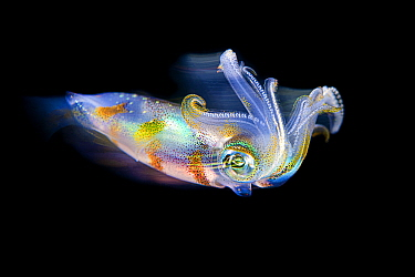 Long exposure of a bigfin reef squid (Sepioteuthis lessoniana) in open water at night. Bitung, North Sulawesi, Indonesia. Lembeh Strait, Molucca Sea..