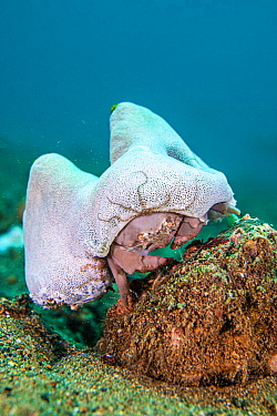 Sleepy sponge crab (Dromia dormia) climbing over a rock, carrying its sea squirt (Didemnum molle) disguise, with brittlestar. Anilao, Batangas marine protected area, Luzon, Philippines. Verde Island P...