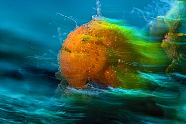 Long exposure portait of an Orange painted frogfish (Antennarius pictus). Anilao, Batangas marine protected area, Luzon, Philippines. Verde Island Passages, Tropical West Pacific Ocean.