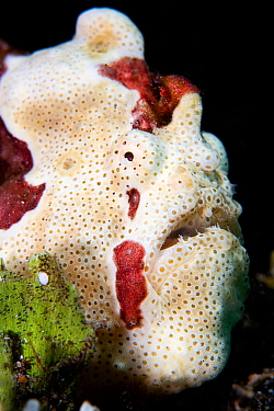 Portrait of a White warty frogfish (Antennartius maculatus). Anilao, Batangas marine protected area, Luzon, Philippines. Verde Island Passages, Tropical West Pacific Ocean.