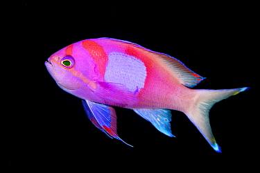 Squarespot anthias (Pseudanthias pleurotaenia) male on a coral reef. Anilao, Batangas marine protected area, Luzon, Philippines. Verde Island Passages, Tropical West Pacific Ocean.