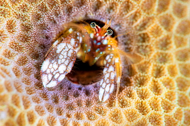 Portrait of Morgan's coral hermit crab (Paguritta morgani) looking out of its burrow in a hard coral colony. These hermit crabs are sedentary, remaining in their burrows, rather than carrying arou...