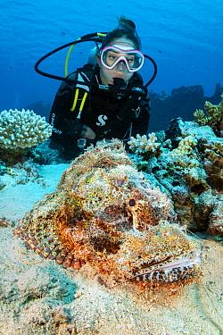 Diver (Jennie Lawson) with a camouflaged Scorpionfish (Scorpaenopsis oxycephala) on a coral reef. Gubal Island, Egypt. Strait Of Gubal, Gulf of Suez, Red Sea.
