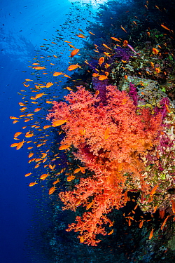 Colourful coral reef wall, with orange Scalefin anthias (Pseudanthias squamipinnis) swarming over red soft corals (Dendronephthya sp.) in a current. Ras Mohammed National Park, Sinai, Egypt. Red Sea