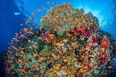 Colourful coral reef scene with Scalefin anthias (Pseudanthias squamipinnis), soft corals (Dendronepthya sp.) and hard corals (Acropora sp.). Ras Mohammed National Park, Sinai, Egypt. Red Sea