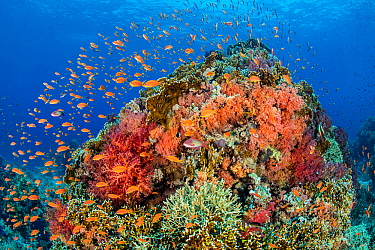 A colourful coral pinnacle, with orange scalefin anthias (Pseudanthias squamipinnis) swarming over red and orange soft corals (Dendronephthya sp. and Scleronephthya sp.) and hard corals, in a current....
