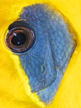 Eye of a Masked butterflyfish (Chaetodon semilarvatus). This species is endemic to the Red Sea. Ras Mohammed National Park, Sinai, Egypt. Red Sea