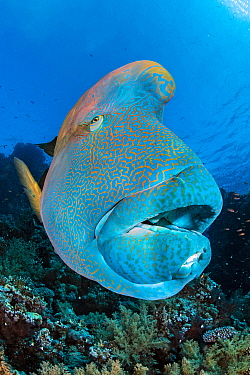 Napoleon wrasse (Cheilinus undulatus) on a coral reef. Ras Mohammed National Park, Sinai, Egypt. Red Sea
