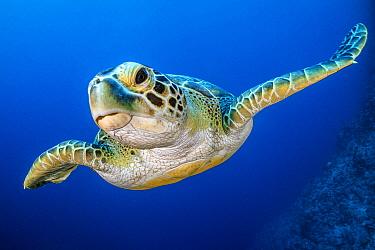 Portrait of Green turtle (Chelonia mydas). Ras Mohammed National Park, Sinai, Egypt. Red Sea