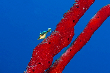 Slender filefish (Monacanthus tuckeri) with red rope sponge on a coral reef. Grand Cayman, Cayman Islands, British West Indies. Caribbean Sea.