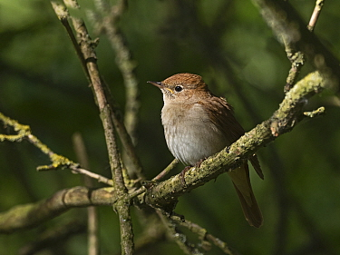 Nightingale (Luscinia megarhynchos) Lodge Hill, Kent, May