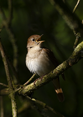 Nightingale (Luscinia megarhynchos) male in song, Lodge Hill, Kent, May