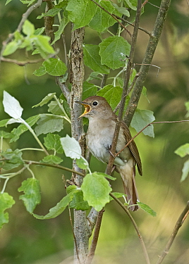 Nightingale (Luscinia megarhynchos) male singing, Lodge Hill, Kent, May