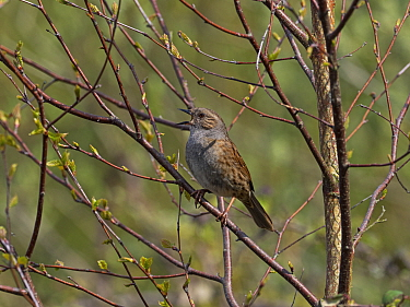 Dunnock (Prunella modularis) singing perched in Silver birch (Betula pendula) Blashford Lakes Nature Reserve, Hampshire and Isle of Wight Wildlife Trust Reserve, Ellingham, near Ringwood, Hampshire, E...