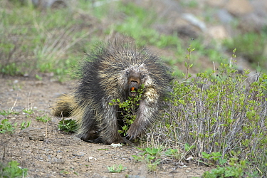North American porcupine (Erethizon dorsatum) feeding on riverbank. Yellowstone National Park, Wyoming, USA. May.