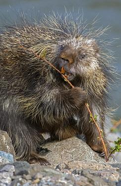 North American porcupine (Erethizon dorsatum) feeding. Yellowstone National Park, Wyoming, USA. May.