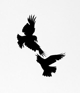 Raven (Corvus corax), two fighting in mid-air. Yellowstone National Park, Wyoming, USA. June.