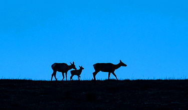 Elk (Cervus canadensis), two cows and calf silhouetted on ridge at dusk. Yellowstone National Park, Wyoming, USA. June.