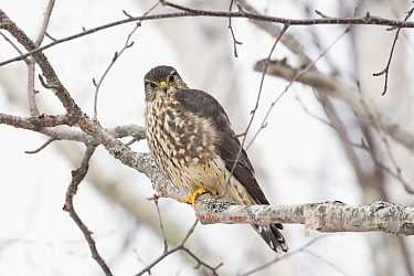Merlin (Falco columbarius) perched in tree. Acadia National Park; Maine; USA. February.