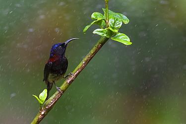 Black-throated sunbird (Aethopyga saturata) Tongbiguan nature reserve, Dehong, Yunnan, China