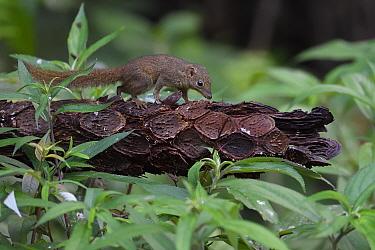 Northern tree shrew (Tupaia belangeri) Tongbiguan Nature Reserve, Dehong, Yunnan, China