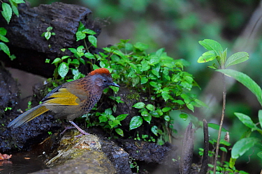 Chestnut-crowned laughingthrush (Trochalopteron erythrocephalum) Gaoligong Nature Reserve, Yunnan, China