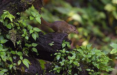 Northern treeshrew (Tupaia belangeri) Gaoligongshan Nature Reserve, Yunnan, China