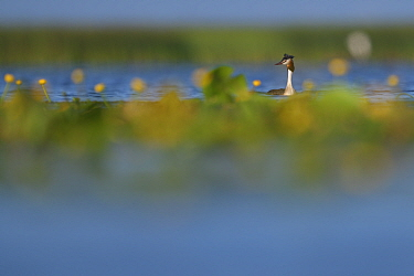 Great Crested Grebe (Podiceps cristatus) Nemunas Delta Nature Reserve, Lithuania.