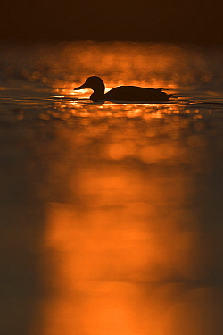 Mallard Duck (Anas platyrhynchos)at sunrise in the Nemunas Delta Nature Reserve, Lithuania.