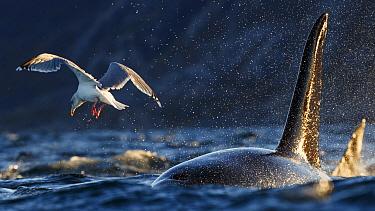 Herring gull and Killer whales / orcas (Orcinus orca) feeding on herring Troms, Norway. November.