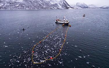 Herring boat with net full of Herring (Clupea harengus) Troms, Norway. November.