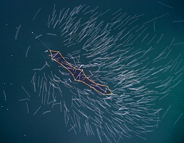 Herring (Clupea harengus) caught in fishing net, with blurred motion gulls taking off, Norway. December.