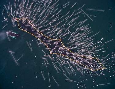 Aerial view of Humpback whales (Megaptera novaeangliae) and Killer whales / orcas (Orcinus orca) investigating Herring (Clupea harengus) caught in fishing net, long exposure of gulls taking off. Norwa...