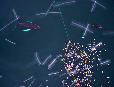 Aerial view of Humpback whales (Megaptera novaeangliae) and Killer whales / orcas (Orcinus orca) investigating Herring (Clupea harengus) caught in fishing net, with gulls, Norway. December.