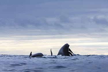 Long-finned Pilot Whales (Globicephala melas) surfacing, Kvaloya, Norway. November.