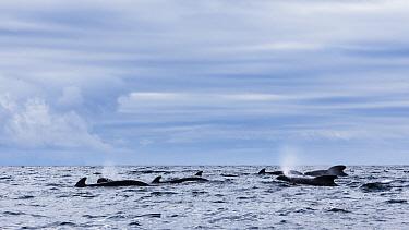 Long-finned pilot whale (Globicephala melas) pod at surface, Kvaloya, Norway. November.