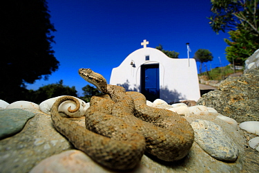 Milos Viper (Macrovipera schweizeri) sub-adult in the grounds of a church, Milos Island, Greece, July. Controlled conditions.