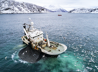 Herring boat with net full of Herring (Clupea harengus). Killer whales / orcas (Orcinus orca) feeding around the boat. Troms, Norway. November.