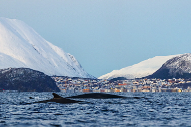 Fin whale (Balaenoptera physalus). In background is the small town Skjervoy, Troms, Northern Norway.